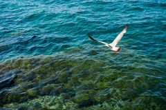 White seagull flying over clear sea. White seagull flying over clear turquoise sea water Stock Photos
