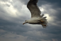 White seagull. Flying over the cloudy sky royalty free stock photography
