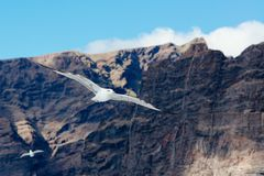 White seagull flying over ocean near rocky cliffs. Los Gigantes. Tenerife, Canary Islands Stock Image