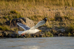 White seagull flying over the river spread wings Royalty Free Stock Photography