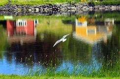 White seagull. Flying over the river with two colorful houses reflected in the water royalty free stock photo