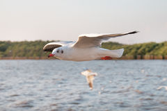 White seagull flying over sea Stock Images