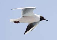 White seagull flying Royalty Free Stock Image