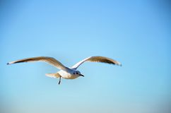 White seagull flying Royalty Free Stock Photography