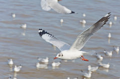 The white seagull flying in the sky over the sea Royalty Free Stock Image