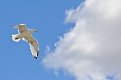 A white seagull flying up in the air Royalty Free Stock Photos