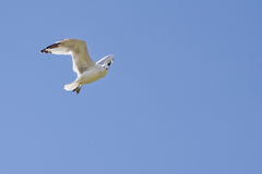 A white seagull flying up in the air Stock Images