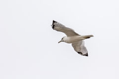 A white seagull flying up in the air Royalty Free Stock Photo