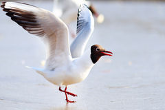 White seagull on the Royalty Free Stock Photography