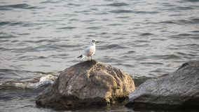 White seagull on the lake. White seagull on a rock at sunset on the Como`s lake stock photography