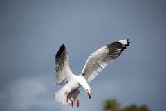 White Seagull Landing in Estuary Stock Photo