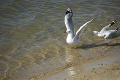 White Seagull Landing in Estuary on summer afternoon Stock Photos