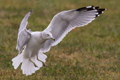 White Seagull Landing Stock Photography