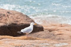 White seagull on the large granite stone Stock Images