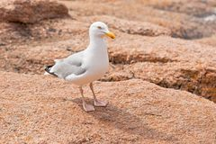 White seagull on the large granite stone Royalty Free Stock Photos