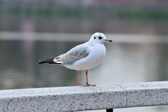White Seagull on a marble railing Stock Image