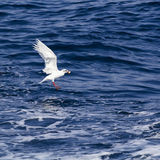 White seagull over the blue sea Royalty Free Stock Photography