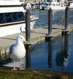 White seagull on the pier. White seagull resting on the pier near the ocean Royalty Free Stock Photography