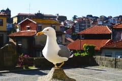 White seagull in Porto. Stock Images