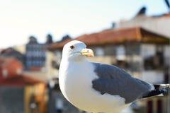 White seagull in Porto. Royalty Free Stock Photos