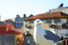 White seagull in Porto. Close-up of a white seagull in the city of Porto, Portugal royalty free stock image