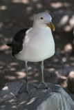 White seagull. On rock next to ocean royalty free stock image