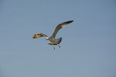 White seagull. Sail in the blue sky Royalty Free Stock Image