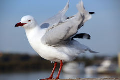 White Seagull Shaking Wing Feathers Royalty Free Stock Photos