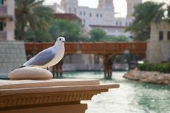 White seagull sits on the background of the bridge and turquoise water in Madinat Jumeirah.  royalty free stock images