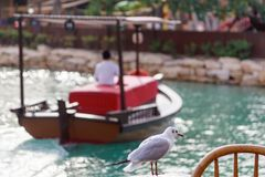 White seagull sits on a table in a restaurant on background of turquoise water and a wooden tourist boat in Madinat Jumeirah.  stock images