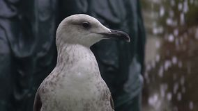 White seagull sitting on fountain, animal life observation, birdwatching in city. Stock footage stock video