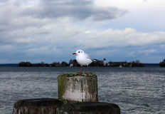 White Seagull. Sitting on pier on lake in cloudy weather stock photos