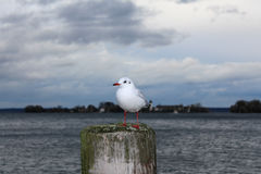 White Seagull. Sitting on pier on lake in cloudy weather royalty free stock image