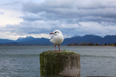 White Seagull sitting on pier Royalty Free Stock Image