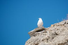 Seagull sitting on a rock near the sea. White Seagull sitting on a rock near the sea Royalty Free Stock Image
