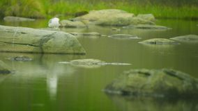 White seagull sitting on a stone at the northern lake Stock Photo