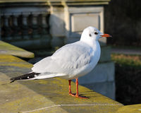 White seagull. Sitting on a wall on a sunny day in the park Stock Photography