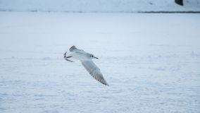 A white seagull in snow. Flying royalty free stock image