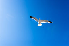 White seagull soaring in the blue sky Royalty Free Stock Photos