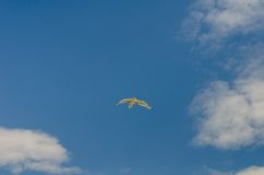 White seagull soaring in the blue sky.  Stock Photography
