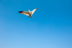 White seagull Stock Image