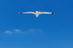 White seagull soaring in the blue sky Stock Photos