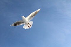 White seagull soars in the bright sky Stock Images
