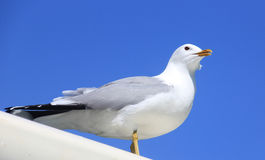 White seagull. A white seagull standing with blue sky as background royalty free stock photos