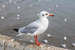 White seagull standing on the bridge in nature background. Birds royalty free stock photography