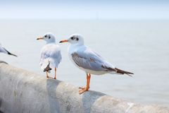 White seagull standing on the bridge in nature background. Bird royalty free stock image