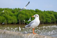 White seagull standing on the bridge in nature background. Bird royalty free stock photos