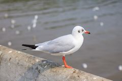 White seagull standing on the bridge in nature background. Bird royalty free stock images