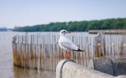 White seagull standing on the bridge in nature background. Bird stock images
