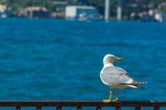 White Seagull Royalty Free Stock Photos